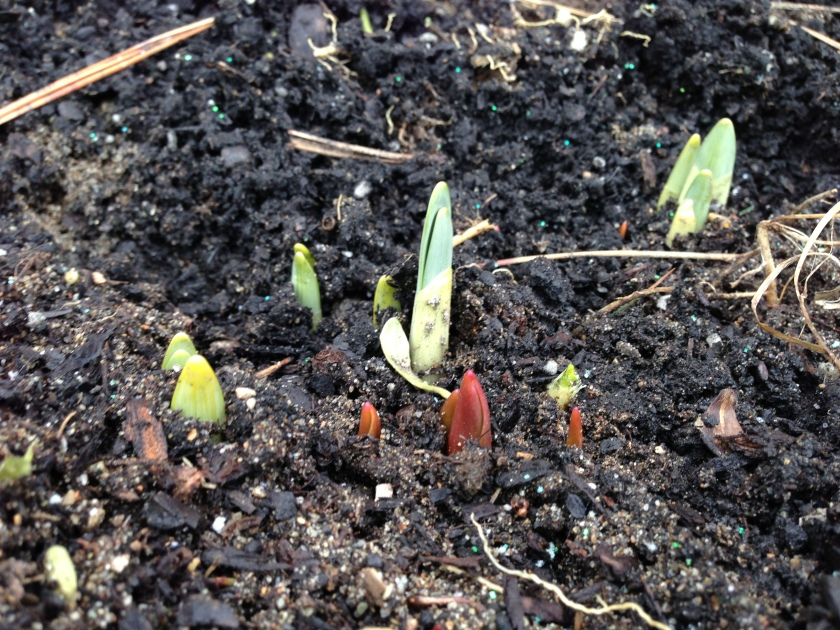 daffodilspikes